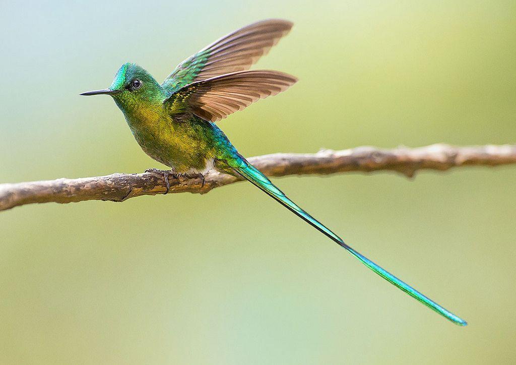 Colibri Silfo Coliverde, Longtailed sylph hummingbird
