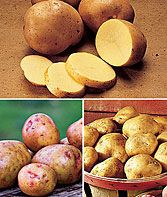 All Season Collection Potato Seeds and Plants, Vegetable Gardening at Burpee.com          'Yukon Gold' - buttery yellow, for baking, French Fries and boiling.      'Red Gold' - rosy skin and white flesh for roasting and mixing in salads.      'Kennebec' - large potato with light tan skin, is a staple for potato chips.
