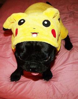 Pika Pug Awww Super Cute Funny Plump Puppy Pug Puggie Dog Cute