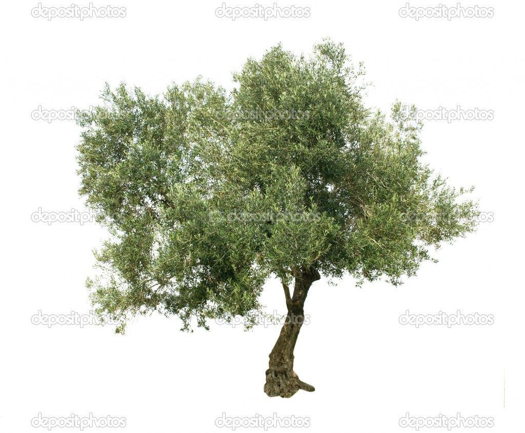 Olive Tree Isolated On White Background Tree Photoshop Olive Tree Free Stock Photos Image