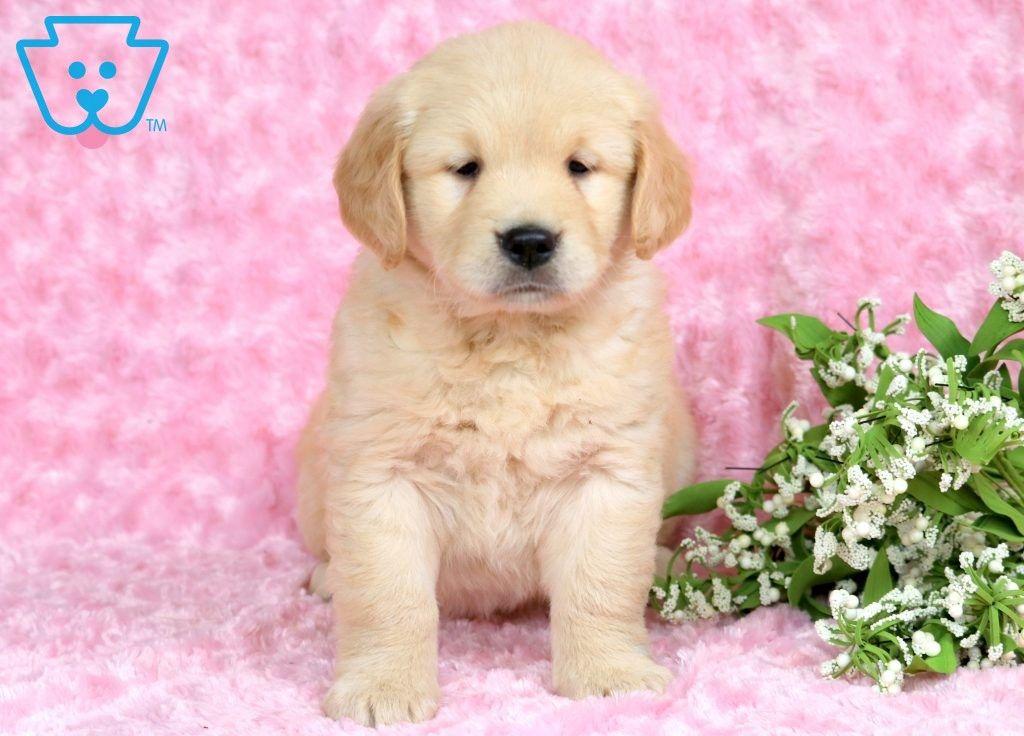 Eva Retriever Puppy Cute Baby Puppies Dogs
