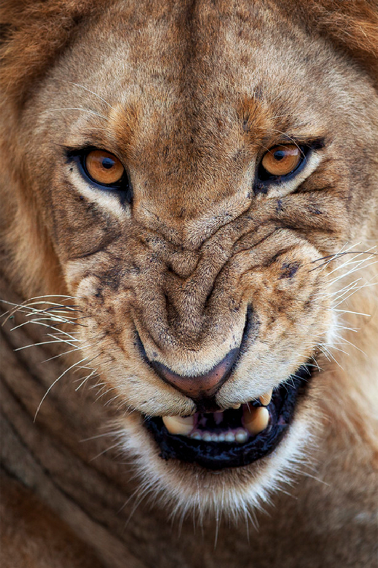 TOP Deadliest Animals In The World Youll Never Guess Who Is - Photographer captures angry lion before attack