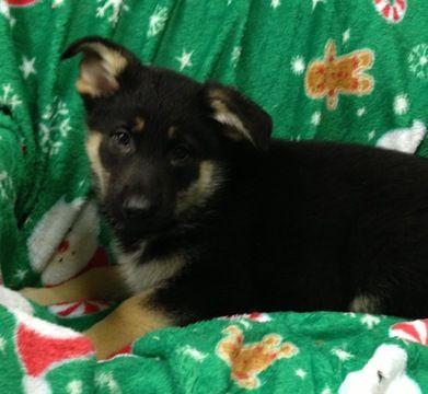 Litter Of 8 German Shepherd Dog Puppies For Sale In Conowingo Md