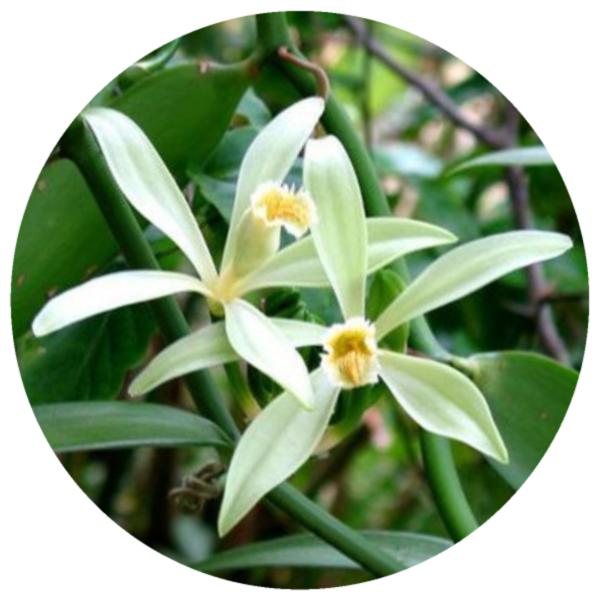 Vanilla Tahiti Vanilla Tahitensis Organic Co2 Extract Organic Vanilla Tahiti