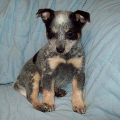 6 Heeler Colors Color Australian Cattle Dog Pets