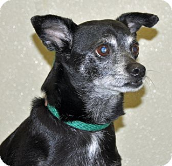 Pictures of Macho a Chihuahua for adoption in Port Washington, NY who needs a loving home.