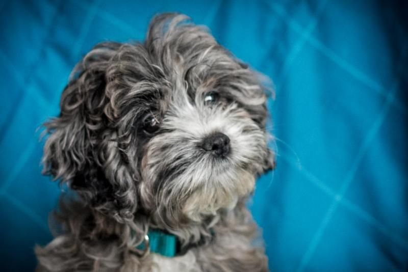 cockapoo puppies available in michigan