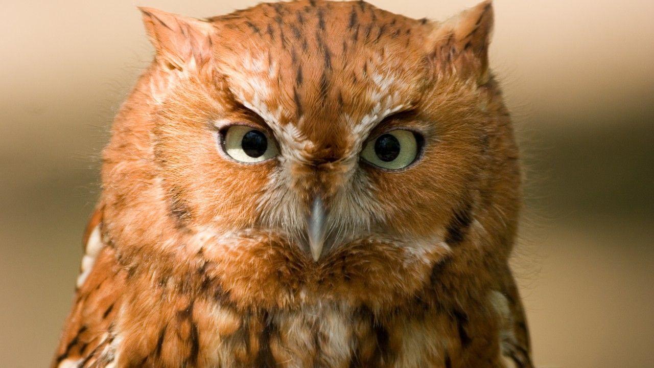 Сова, 5k, 4k, рыжая, птица, глаза, зеленый, близко