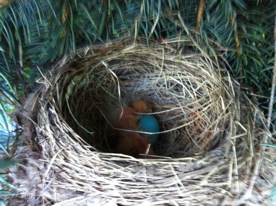 Robins Nest- babies are hatching