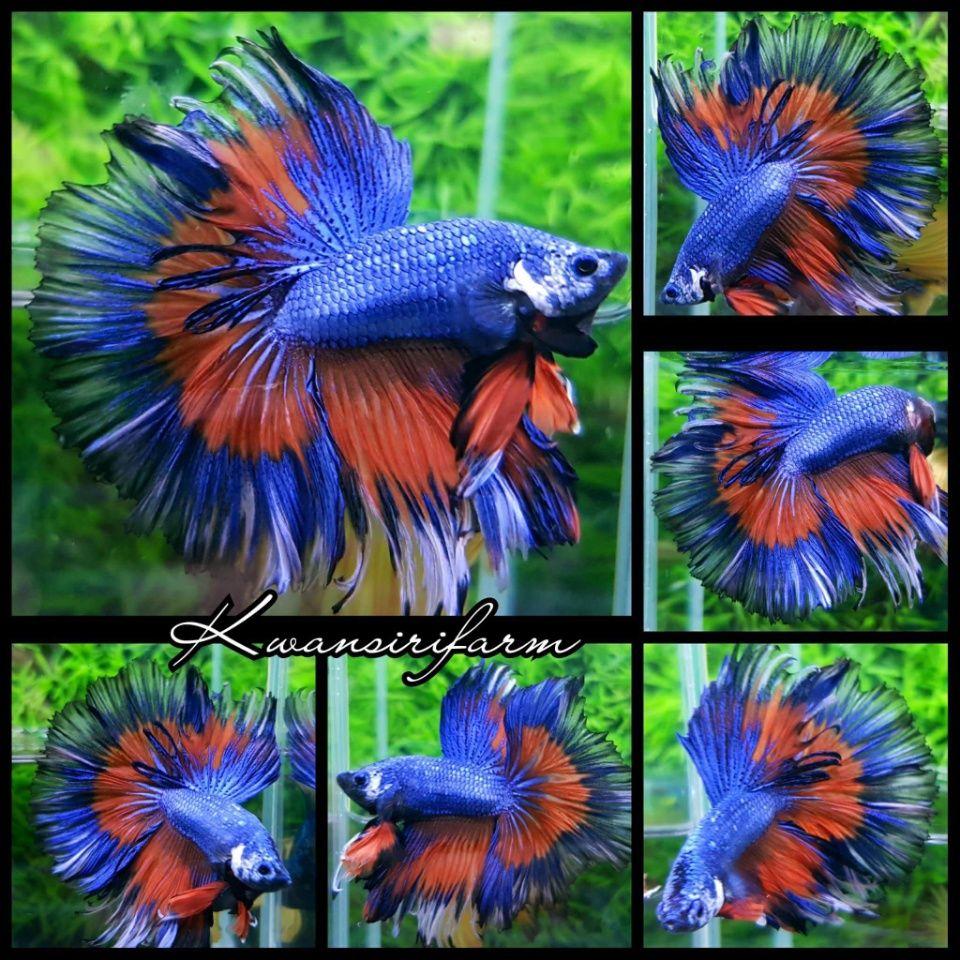 HM. TRI - COLOR | Beautiful Betta Fish | Pinterest | Betta, Betta ...