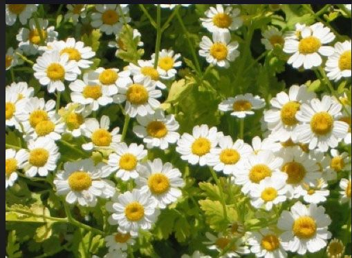 Feverfew Repels Biting Flying Insects A Freely Self Sowing Herb It Can Be Invasive But Is Insect Repellent Plants Chrysanthemum Flower Seeds Feverfew Plant