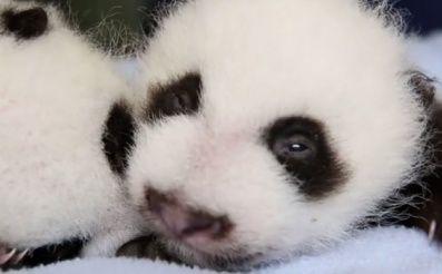 little pandas, sooo cute nununununu :)