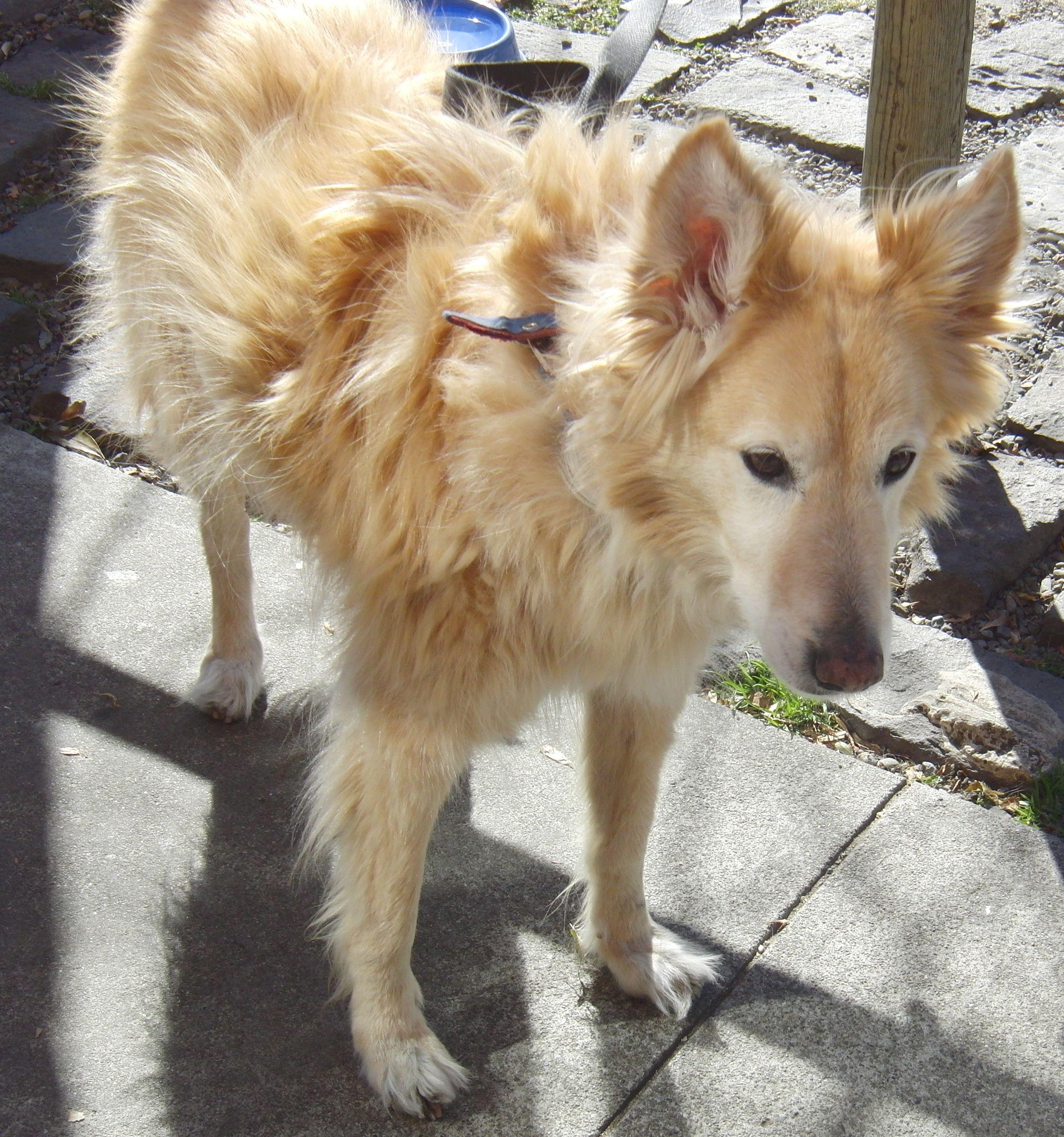 Husky Golden Retriever Mix Dog Of The Day Dancer The Golden