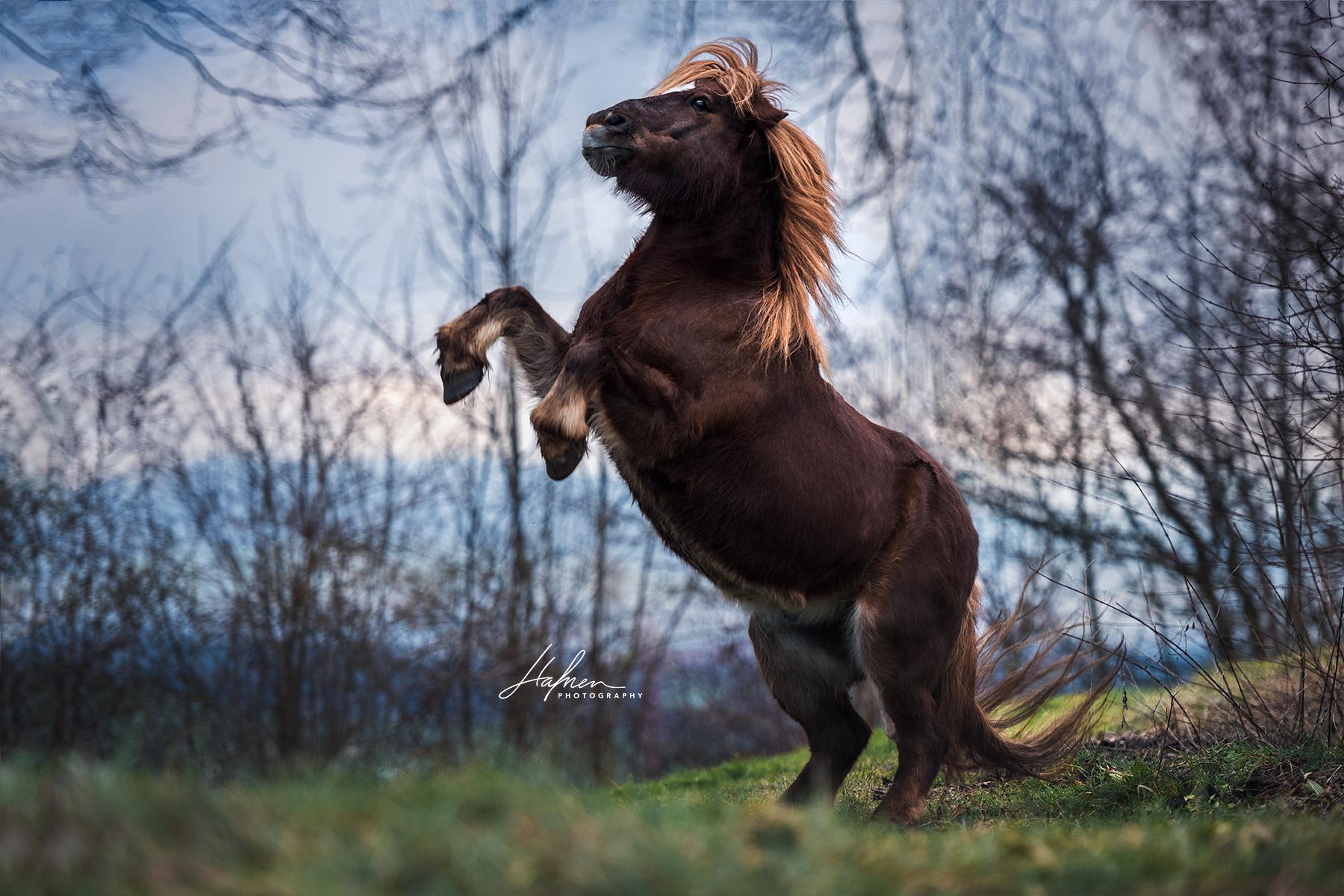 shetland pony zeigt kunstück | shetlandpony steigt