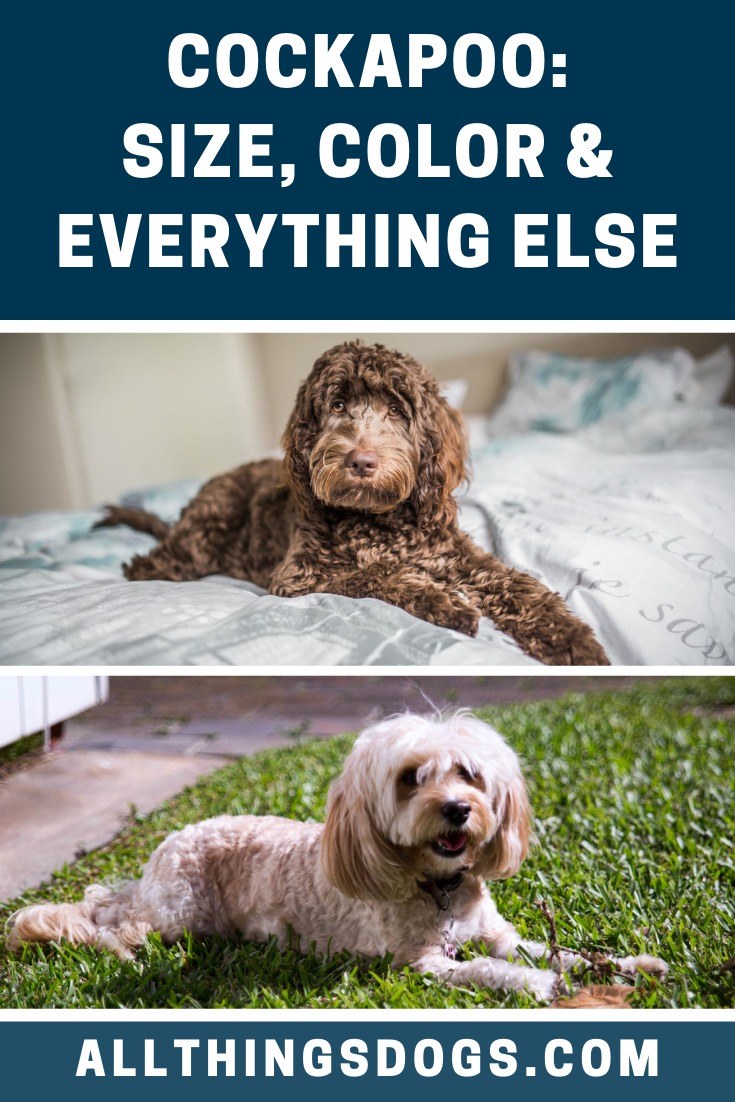 A Cockapoo Is Generally Classed As A Small To Medium Sized Dog