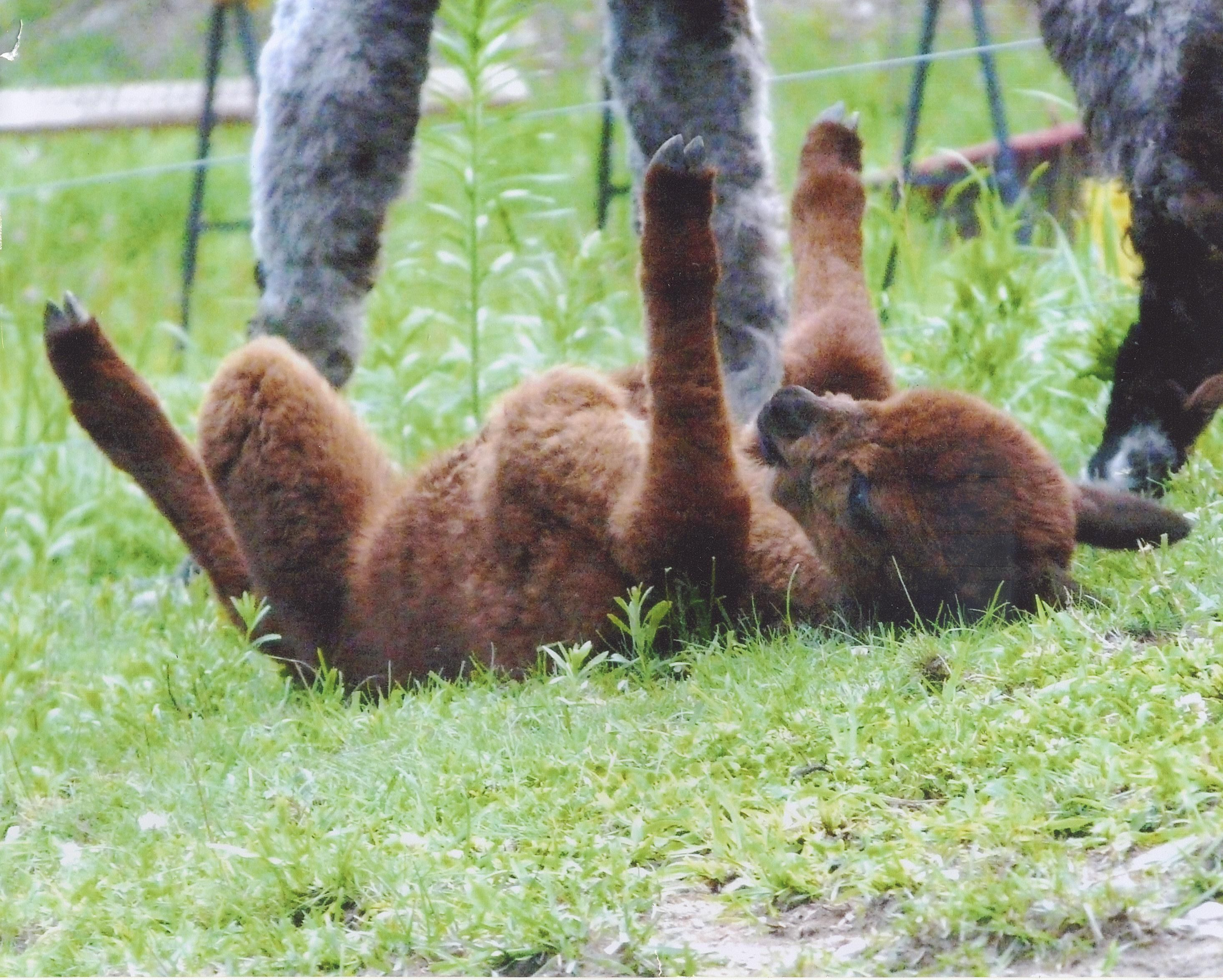 Best Alpacas Images On Pinterest Baby Animals Beautiful And - 22 hilarious alpaca hairstyles