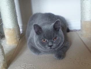 Www Silverbrookcattery Com British Shorthair Kittens Kittens For Sale Cats For Sale Cat Kitten Kitten Ado Kitten Adoption Cats For Sale British Blue Cat
