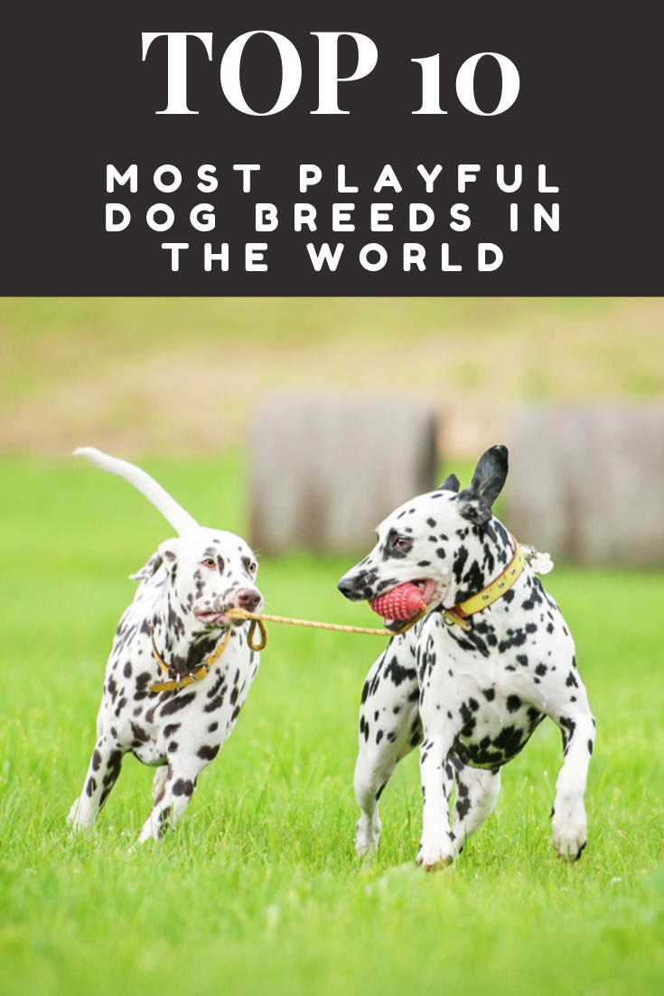 10 Most Playful Dog Breeds In The World With Images Dog Breeds Big Dog Little Dog Dogs