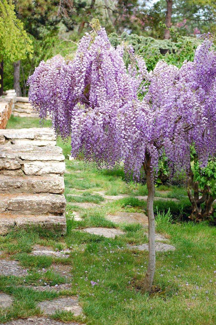 Acacia rbol con flores de color azul los jard nes y sus for Arboles de flores para jardin