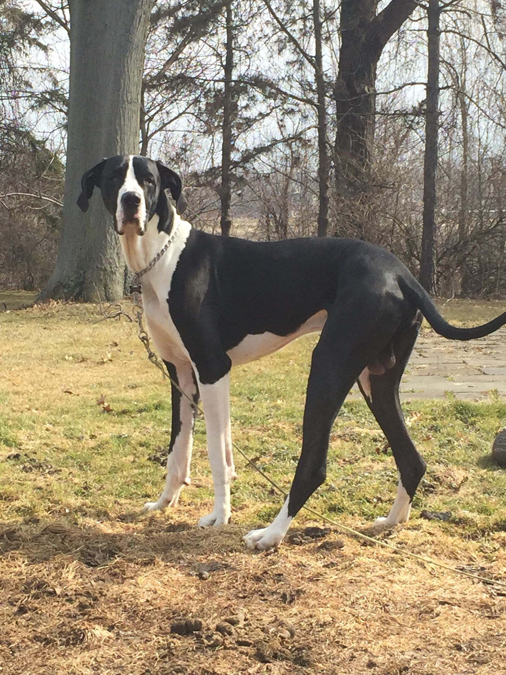 My Great Dane Channing He S Such A Big Boy Now Turns 2 On March