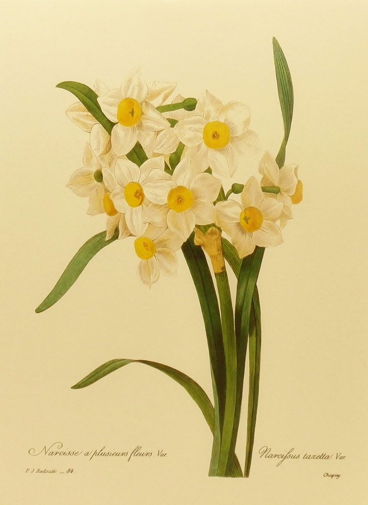 Vintage Paper White Daffodil Redoute Flower Print Botanical Illustration Easy To Frame 9 X 12 Book Plate No 84