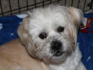 Adopt Pretzel On Doggies Dogs Poodle Maltese Mix