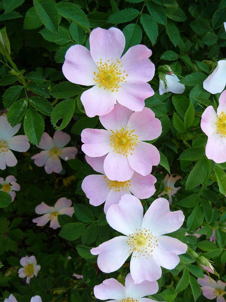 L'églantier (Rosa canina), adorable sauvageon   Fleurs ...
