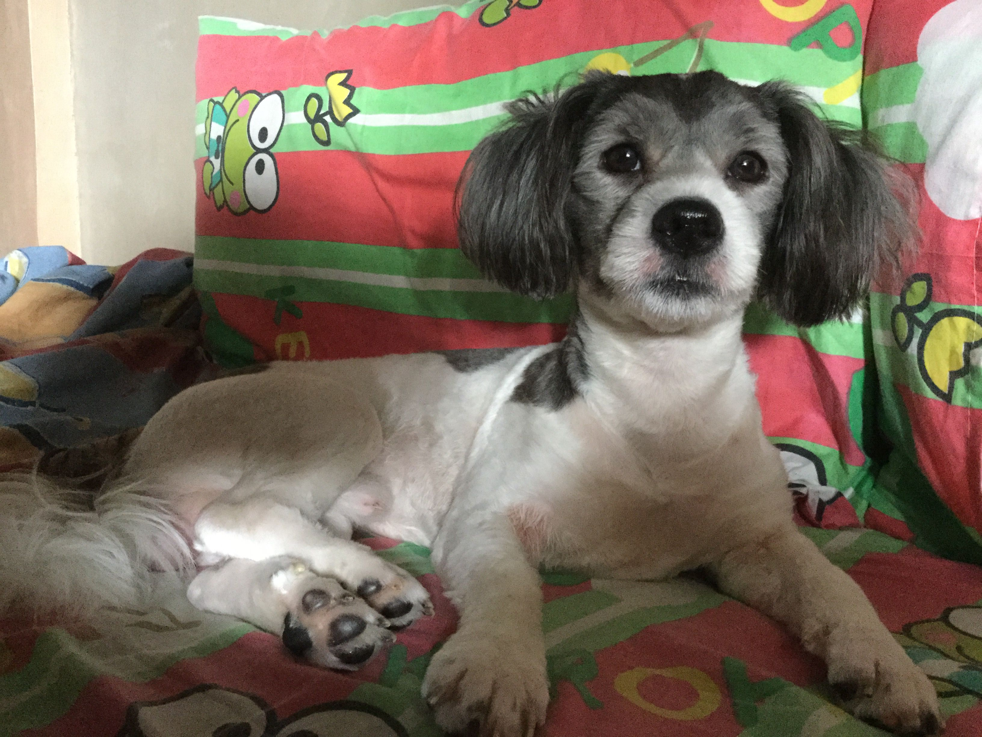 Handsome Cute Dog Mixed Shih Tzu X Japanese Spitz X Poodle