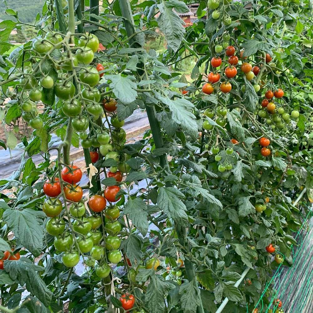 ミニトマトの投稿画像 By アラパンさん 家庭菜園と梅雨に負けないと