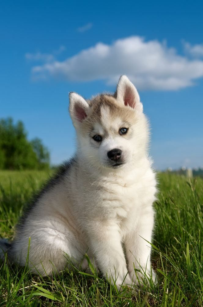 Siberian Husky Names For Unique Male Female Huskies Siberian