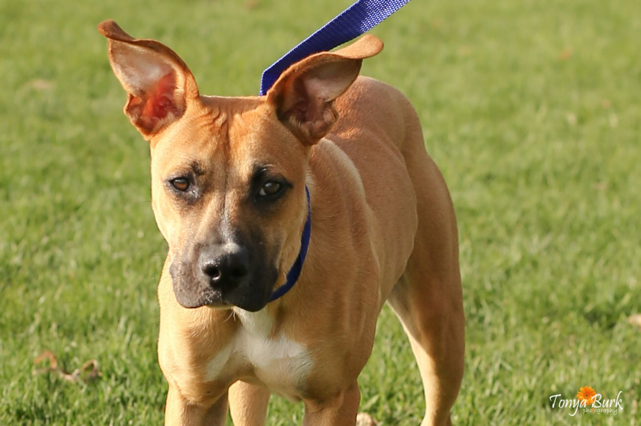 Boxer dog for Adoption in Pequot Lakes, MN. ADN542741 on