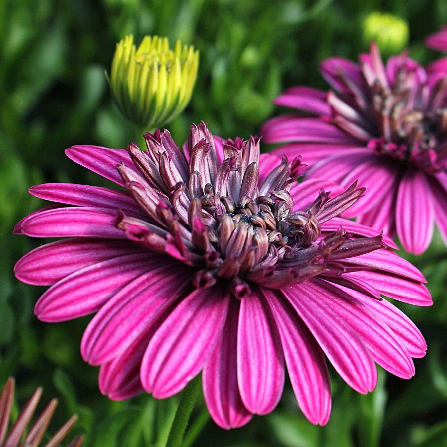 Double Pink Osteospermum Pink x 6 Plugs
