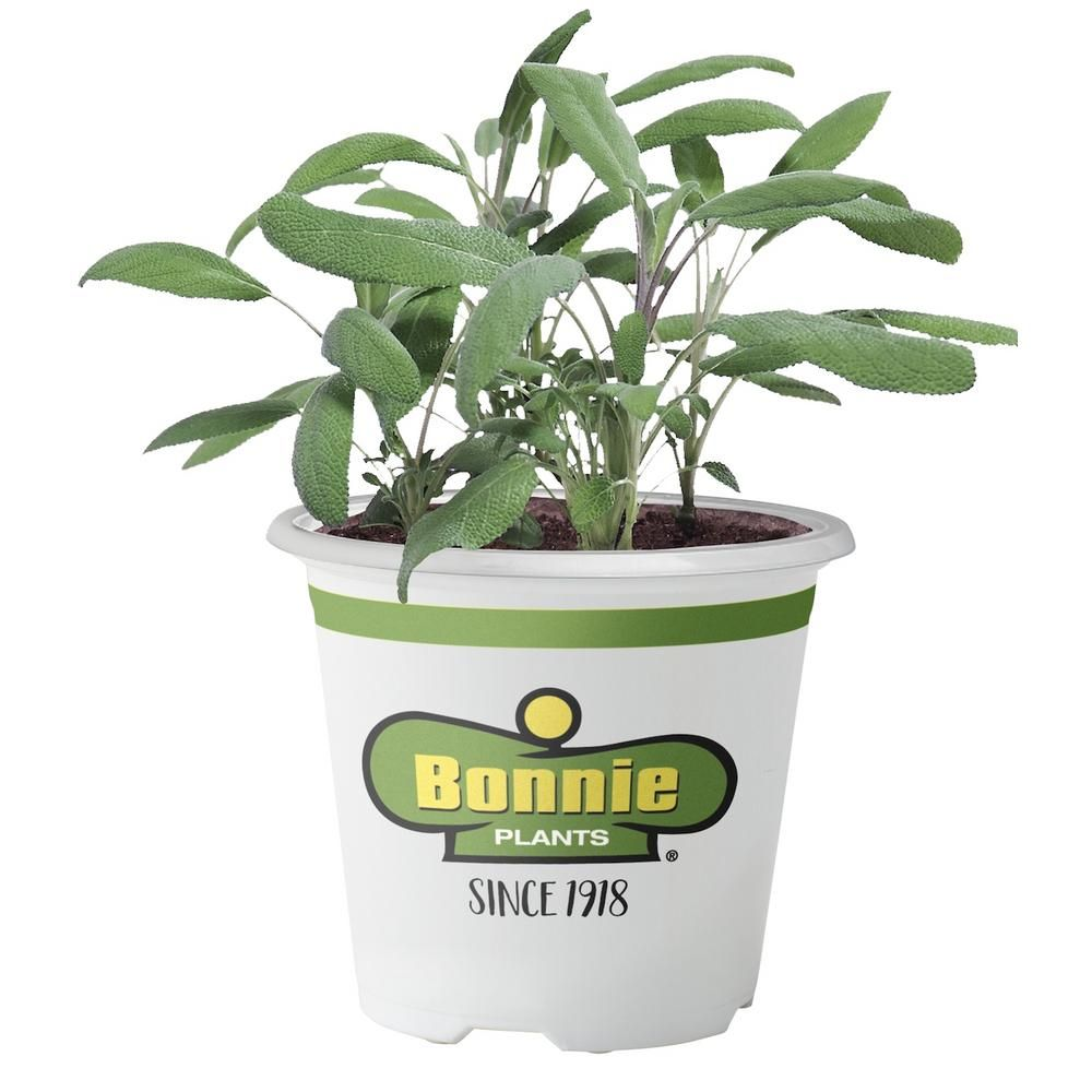 Bonnie Plants 4 5 In 19 3 Oz Garden Sage 5100 The Home Depot In 2020 Planting Herbs Plants Edible Garden