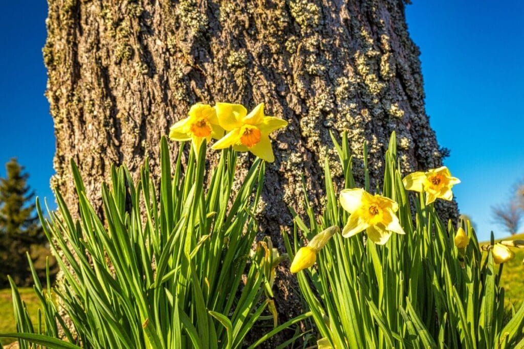 Amazing Meaning And Symbolism Of Daffodil Flower And Color Florgeous In 2020 Daffodil Flower Daffodils Amazing Flowers