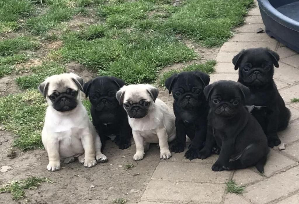 How To Find A Reputable Pug Breeder In 2020 Pug Breeders Pug