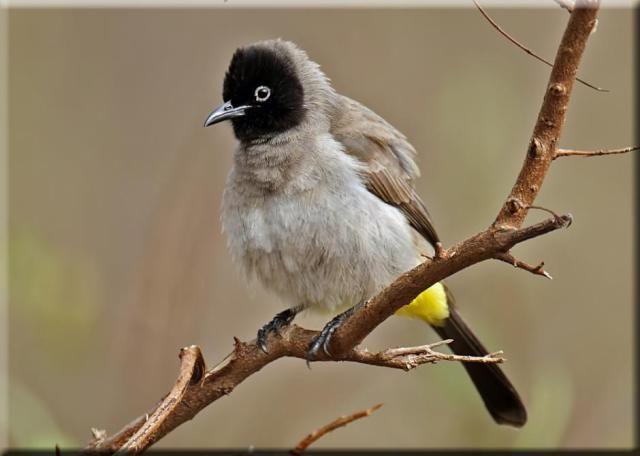 ابيض العينين بلبل Bulbul South African Birds Bird