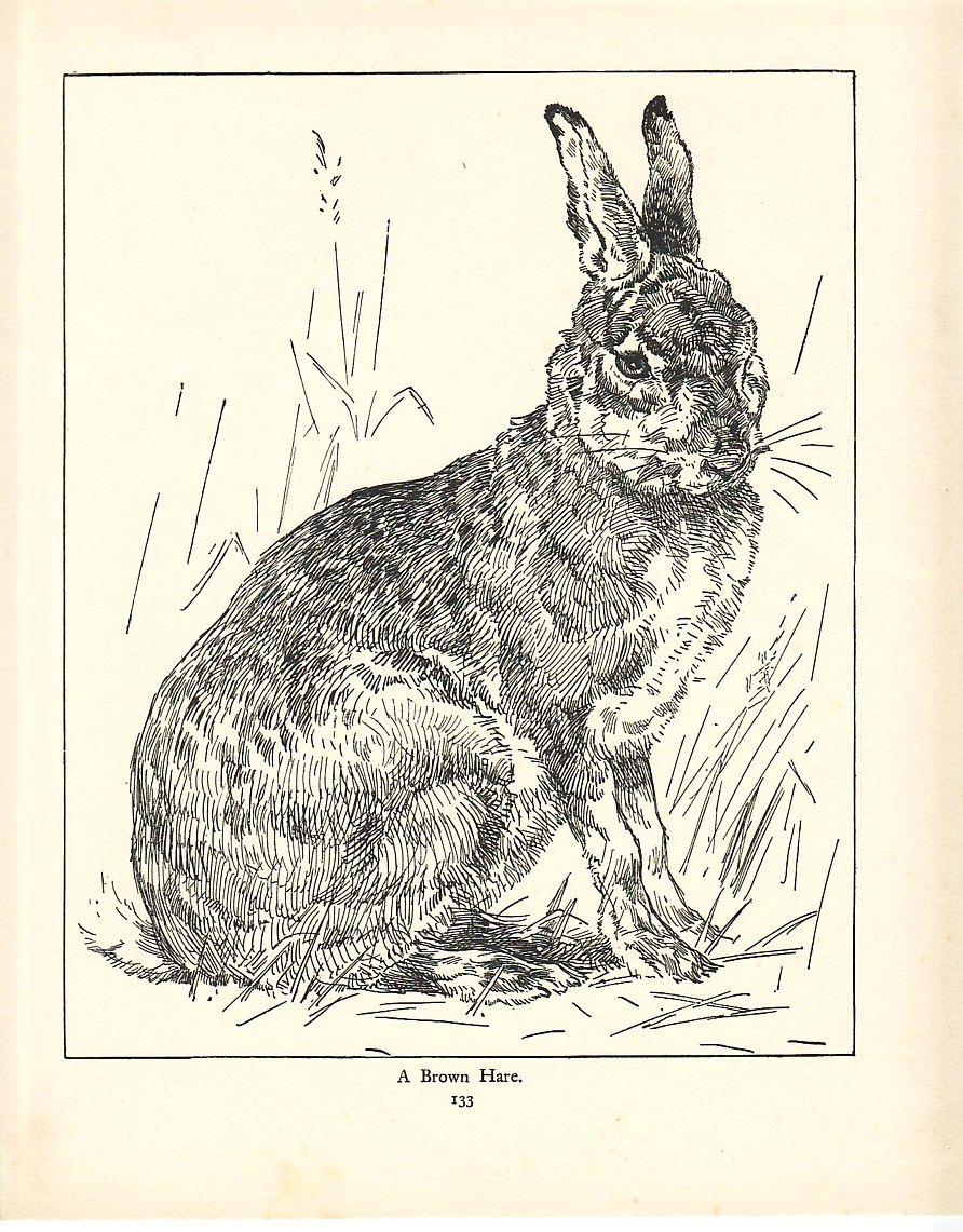 Vintage The Brown Rabbit Engraving Bookplate Prints Chromolithographs Engravi Lapin Art Dessin Vintage Images Vintage