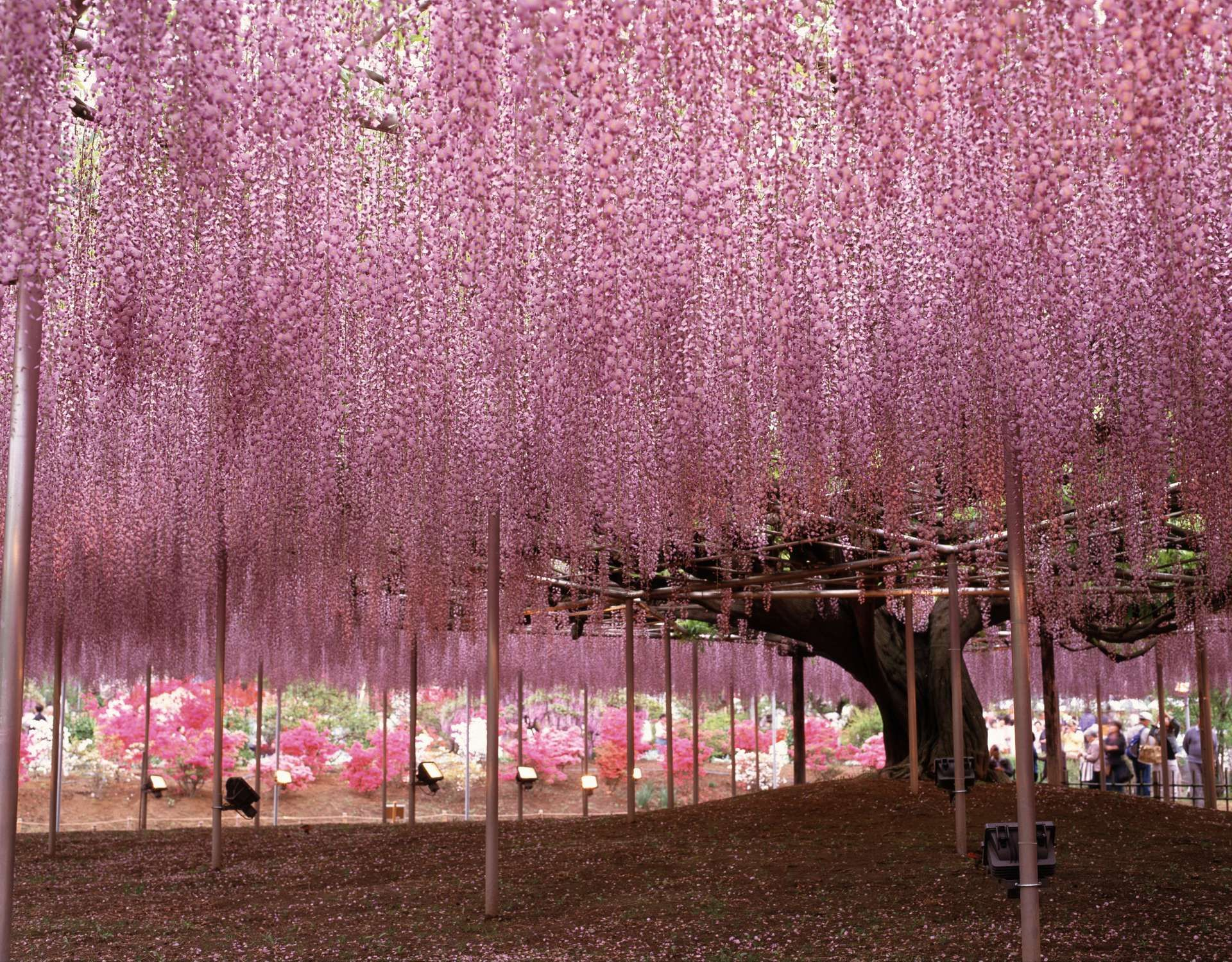 Light Pink Wisteria Tree Tunnel Japanese Garden Plants Beautiful Gardens