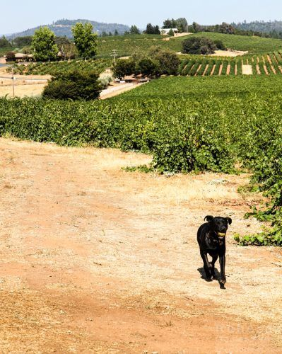 #Amador isn't on a lot of #wine #travel lists, but Bella Grace Vineyards shows why it should be: