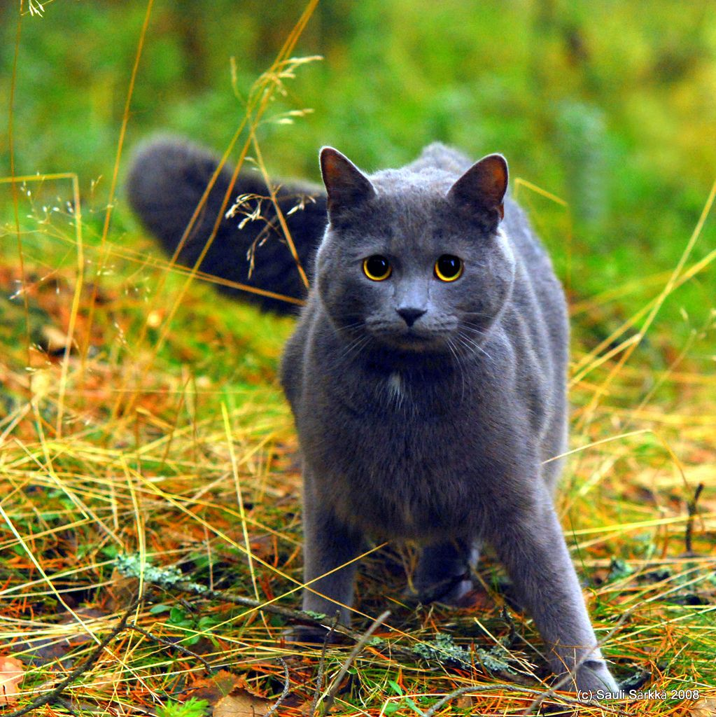 Cat Blue gray cat in the woods