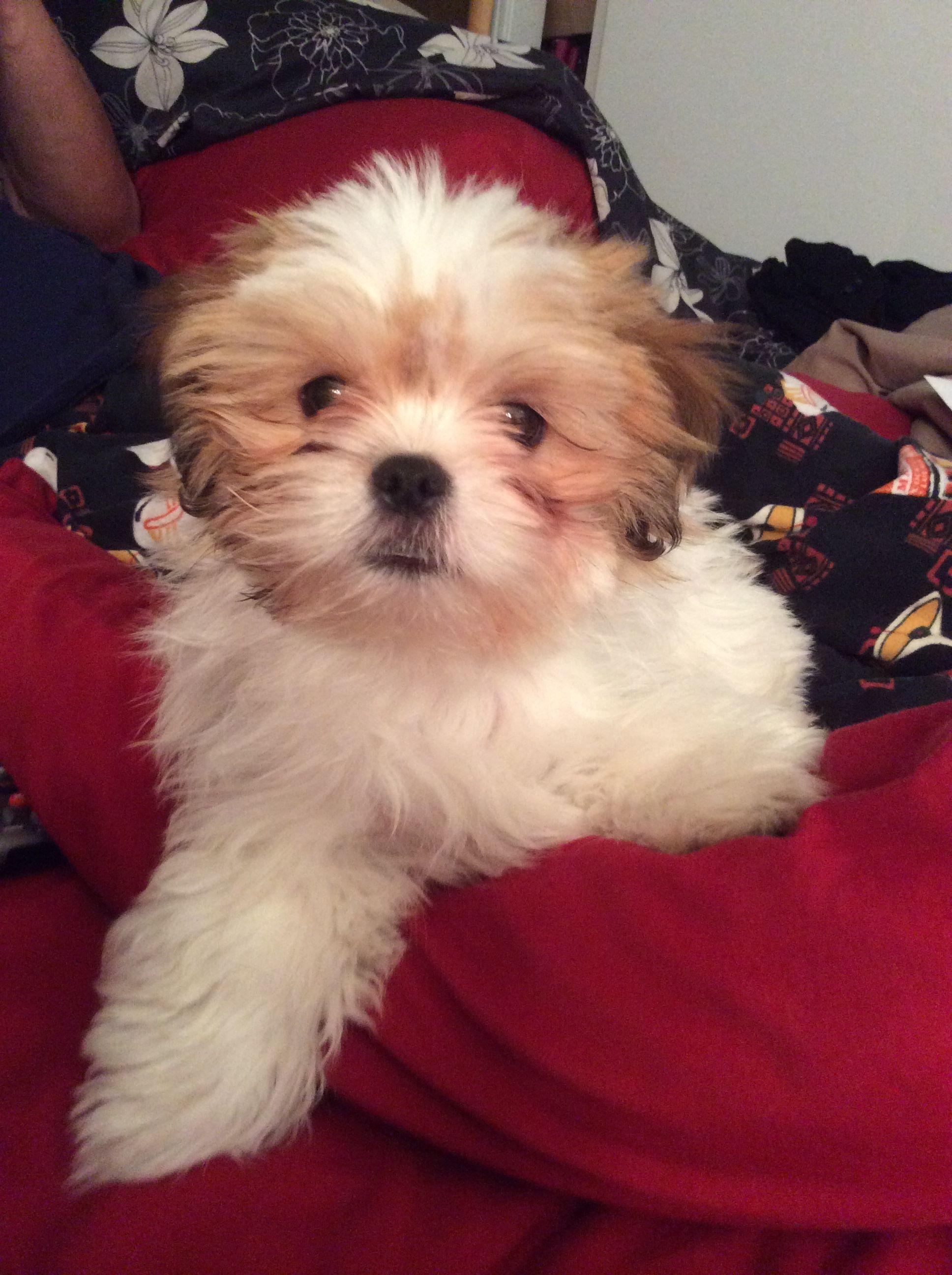 Shit zu Maltese Puppy