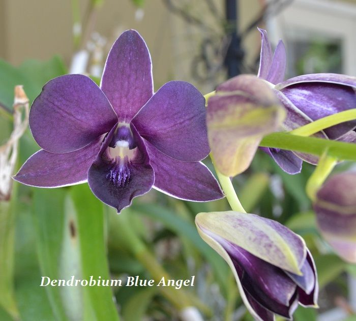 Dendrobium Blue Angel And Dendrobium Burana Beauty Orchids
