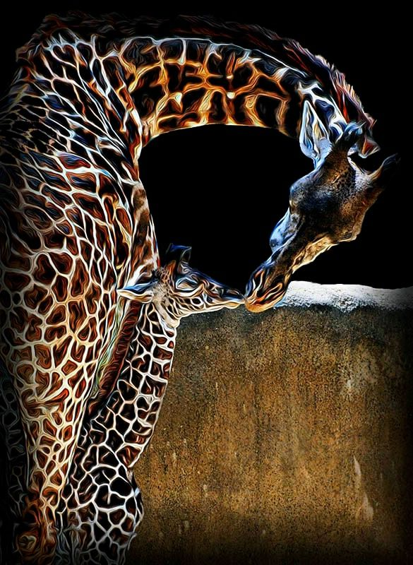 First Kiss © Kathy Salerni (With images) Giraffe