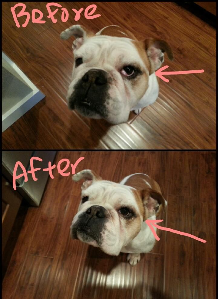 Toffee S Cherry Eye Went Back After Couple Minutes Of Massage
