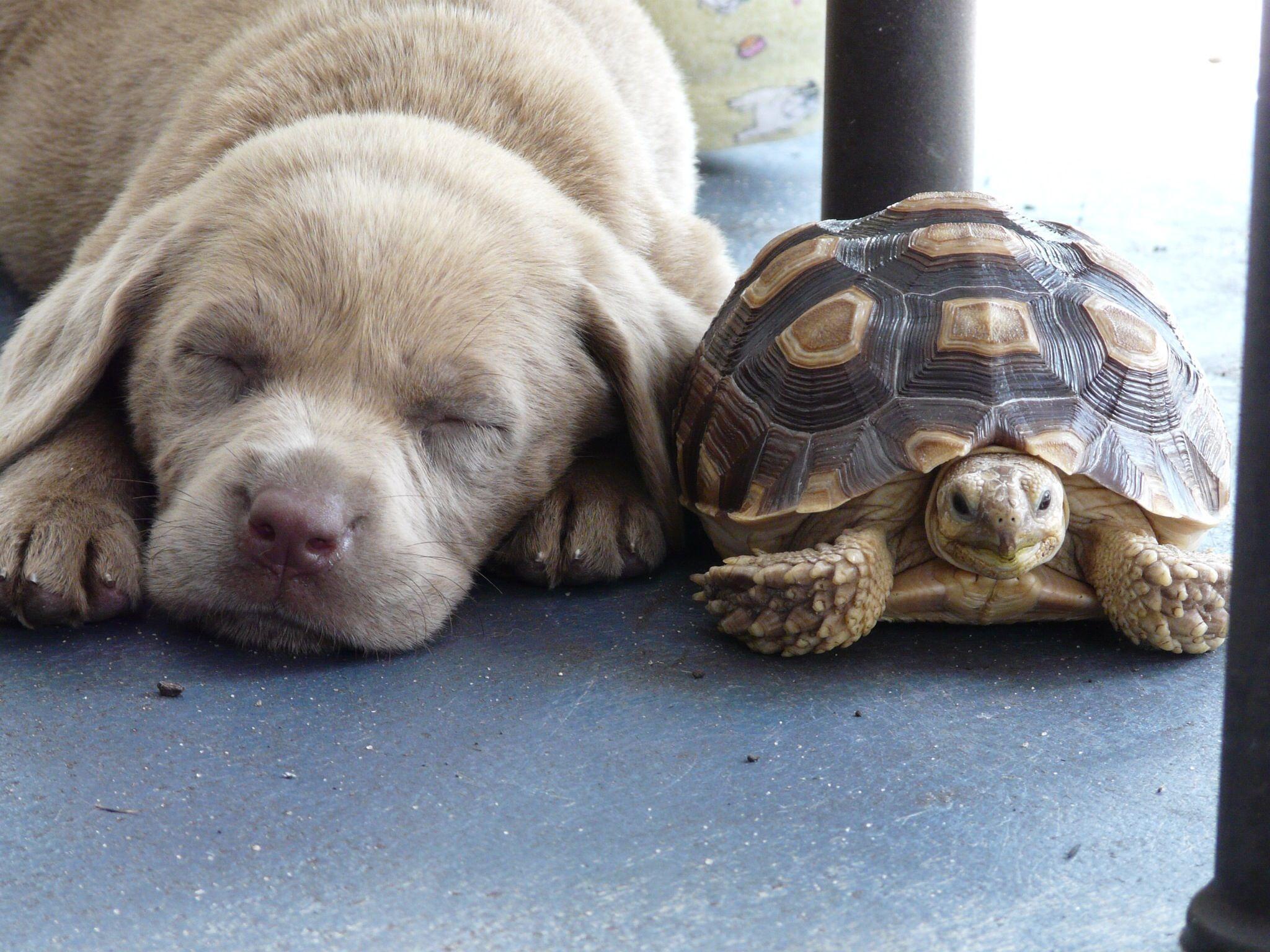 Puppy Turtle Labrador Labrador Retriever