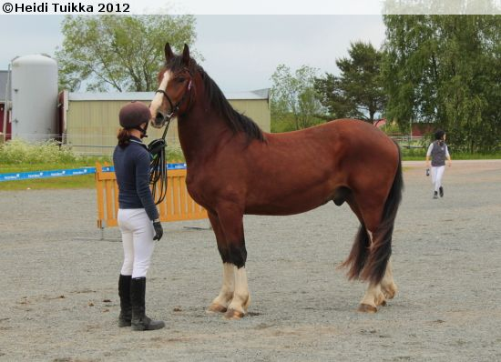 Estonian Draught - gelding Vunts