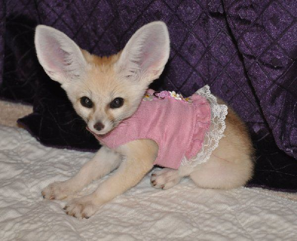 Fennec Fox Pups For Sale Fennec Fox Kits For Sale 2013 Cool