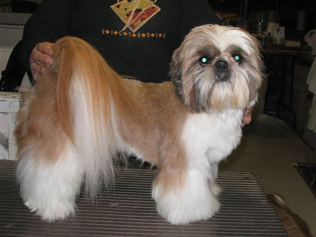 Shih tzu short haircut pets pinterest dog doggies and dog grooming styles - Coupe nounours pour shih tzu ...