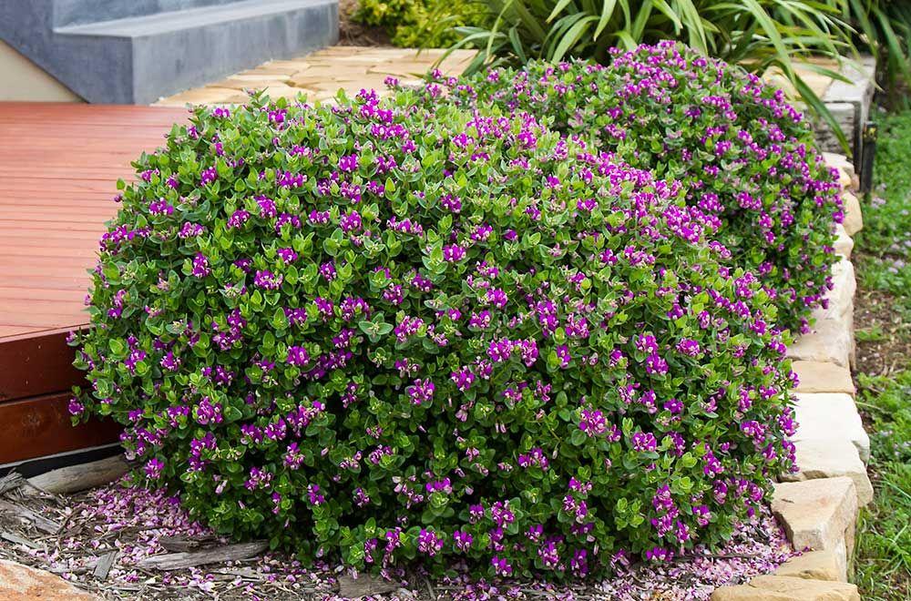 Polygala Dazzler Sweet Pea Bush, landscape - Google Search ...