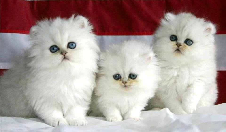 5 358 Cute Cat Wallpaper Cute Cats And Kittens Cute Baby Animals Beautiful white kitten wallpaper